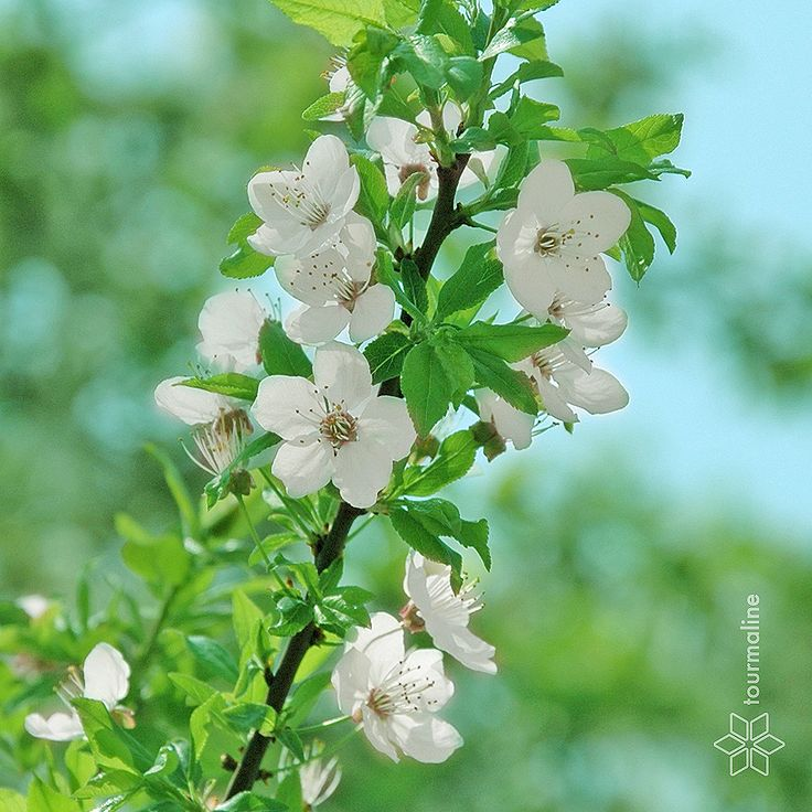 #flowering_apricots #tourmalinepro #free_image #flowers #spring #leaves #blue #white #green #softness #gentle