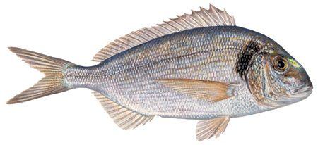Dorada Pesca submarina en apnea - La guía mas completa para principiante