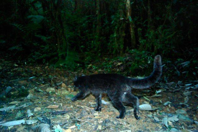 CALI 1:48 PM - 1 de Septiembre de 2016 Descubren en Valle especie de felino nunca antes vista en Colombia - ➜