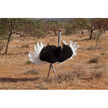 Ostrich bird Samburu National Game Reserve Kenya Canvas Art - Adam Jones DanitaDelimont (35 x 23)