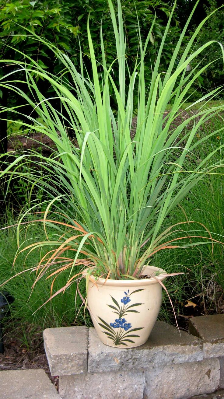 How to grow lemon grass from seed - Lemongrass Live Plants Individually Grown And Shipped In Pots The Generous Pot Size Offers You Plants With A Well Developed Root System