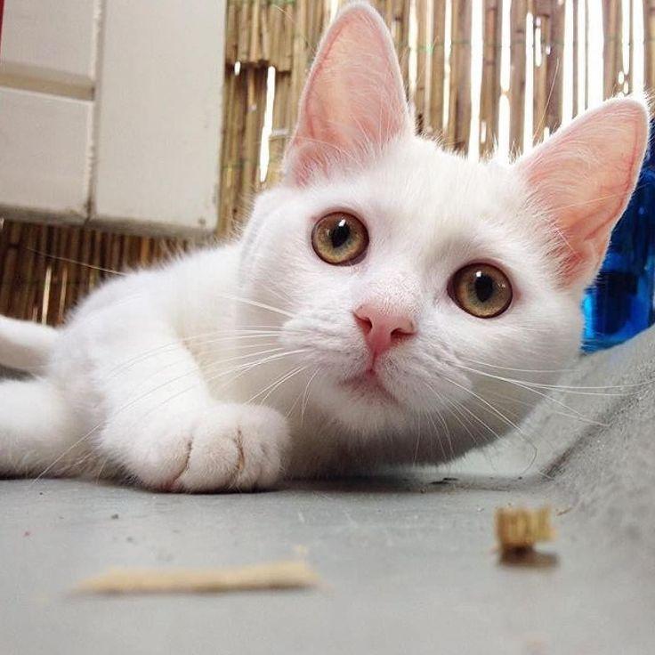 #kucingbikingemes ini kiriman dari : @zappa_the_cat    punya #kucingbikingemes juga? follow dan tag @kucingbikingemes  jangan lupa pakai #kucingbikingemes   via #catsofinstagram #cat #cats #catofinstagram #cat_of_instagram #catstagram #catsoftheworld #catslover #catgram #catagram #catslife #kucing #kucingku #kucinglucu #kucingsaya #kucingimut