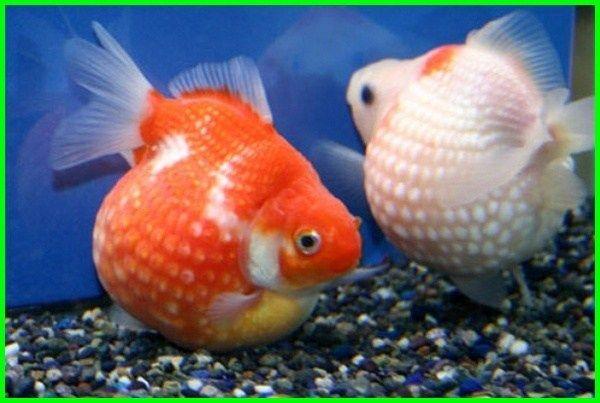 6 Perbedaan Ikan Koki Mutiara Jantan Dan Betina Ekor9 Com Ekor9 Com Goldfish Tank Goldfish Freshwater Aquarium Fish