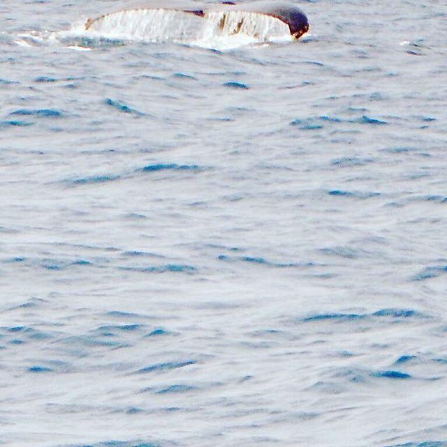 【murunu_shi】さんのInstagramをピンしています。 《なんとも言えない悔しいショット(꒦ິ⌑꒦ີ) . 興奮しすぎて目でははっきり見えたのに。。。 カメラではこの有様(´xωx`) オーマイガー(。-∀-。) . リベンジして来ます!! . #マリンサービスむるぬーし #みんなが主役 #沖縄 #okinawa  #海 #sea  #クジラ  #ホエールウォッチング  #テール》