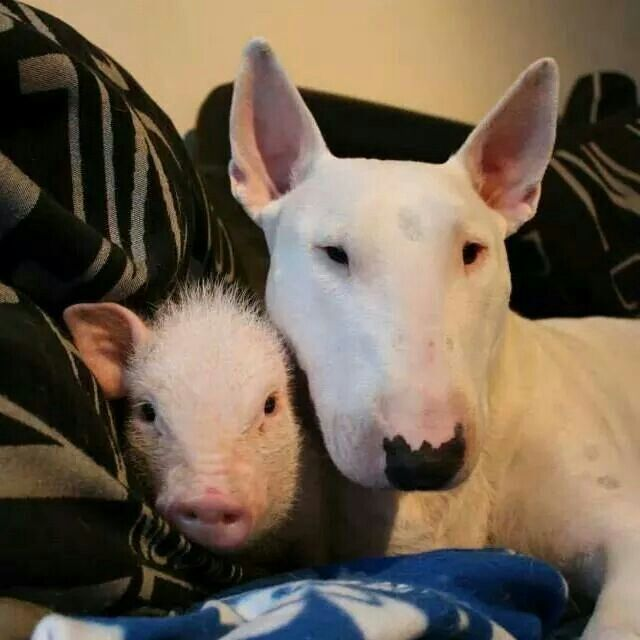 Bull terrier and mini pig