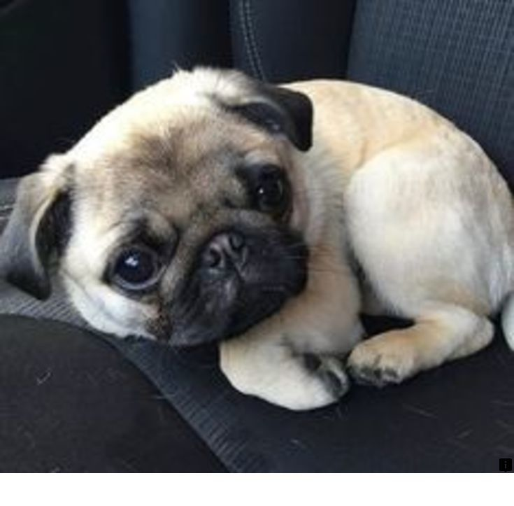 Look At The Webpage To Learn More About Teacup Pugs For Sale