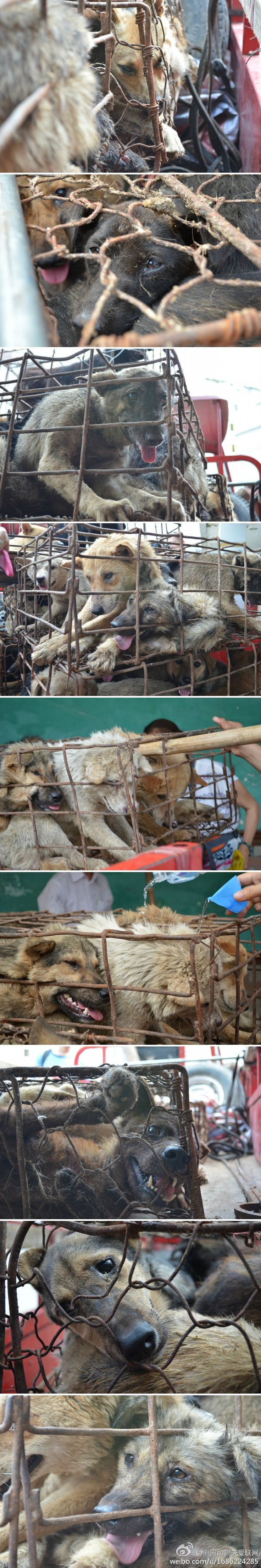 These are the poor dogs in Yulin,Guangxi province, China. They are waiyingto be killed n eat in the dog meat market.  June 21st is Yulin's Dog Meat Festival. people go to market, choose  the dog they like, kill n take home to cook.  It's fu~king unbelievable China garvernment do nothing about it.  Since they sell dogs by weight, so people will ROB whatever dog looks big n sell to the market, if you pet is husky, golden retriver, lamburado, dont walk on the street! they will drive a van n rob…
