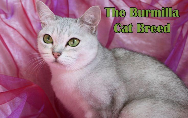 The Burmilla Cat Breed