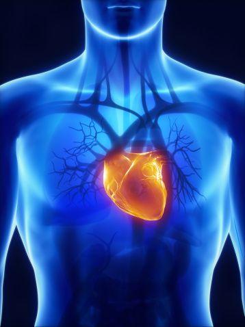 Das menschliche Herz