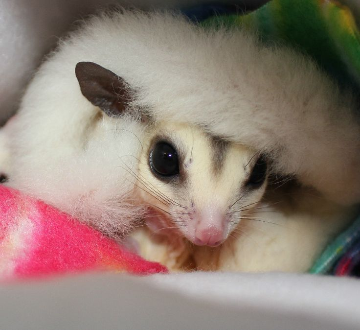 159 best sugar glider odd colors images on Pinterest | Sugar gliders ...