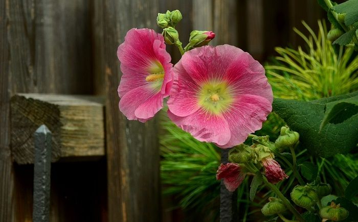 Flower Meanings In 2020 Hibiscus Flower Meaning Flower Meanings Hollyhocks Flowers