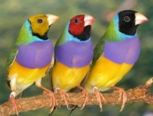 Lady Gouldian Finch (from Australia). For sale at the link.