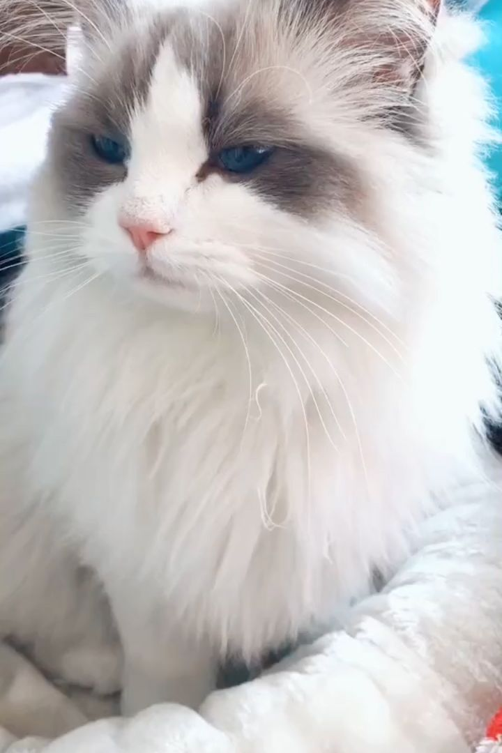 Where To Find Ragdoll Kittens For Sale In 2020 Ragdoll Kitten