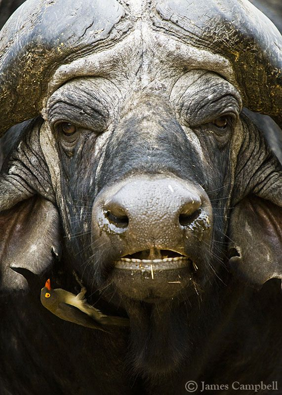 The buffalo and the oxpecker : by James Campbell