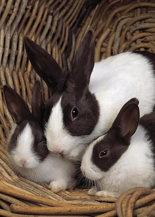 Dutch Rabbits by E A Janes