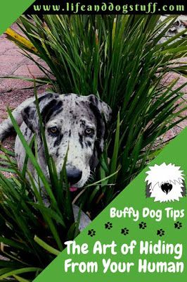 The Art of Hiding From Your Human - Buffy Dog Tips. dog hiding. #dogs #funnydogs