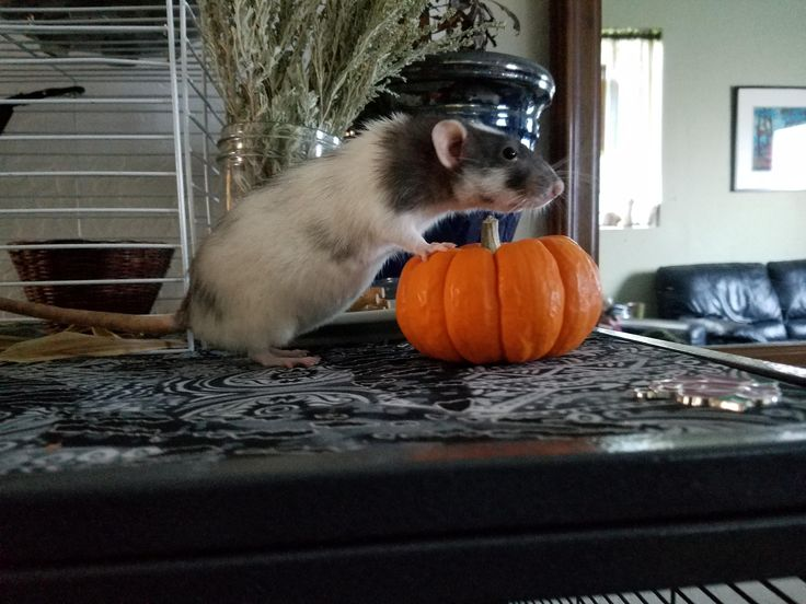 Pumpkin spice ratte! #aww #cute #rat #cuterats #ratsofpinterest #cuddle #fluffy #animals #pets #bestfriend #ittssofluffy #boopthesnoot
