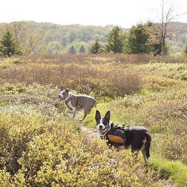 Roaming free in the Dolly Sods wilderness in West Virgina. Photo credits @lifeandlucy