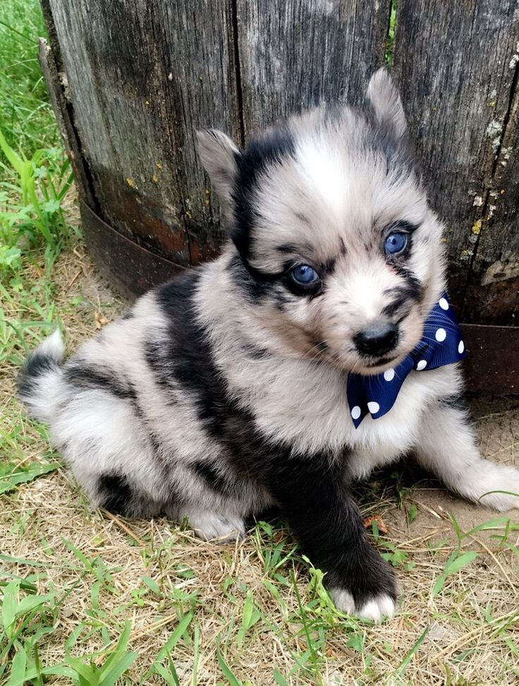 pomeranian breeders in tn 72 best images about pomsky breeders on pinterest 1841