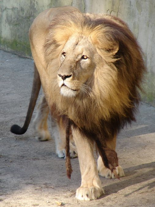 katanga lion