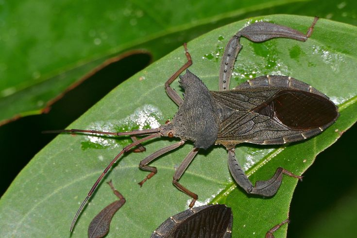 Giant Squash Bug (Prionolomia sp.) at Mulu NP, Sarawak, MALAYSIA