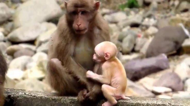 Despacito - Funny Monkey family - 2017