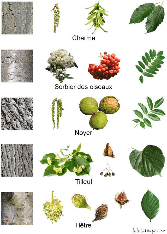 Les arbres de la forêt, fleurs, fruits, écorce et feuilles