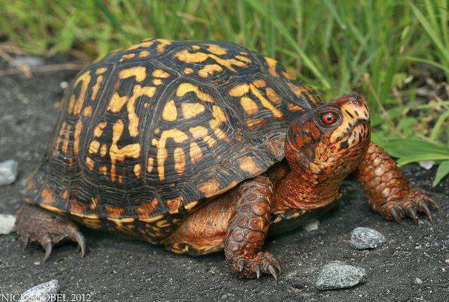Eastern Box Turtle by Nick Scobel, via Flickr