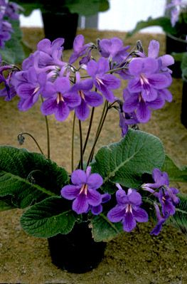 Streptocarpus 'Paula' another gorgeous British hybrid that I never see offered in the US