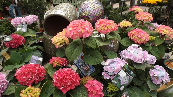 Every year new varieties of hydrangeas are introduced. From blue to lavender, coral to bright pink, the color range is impressive. Weesies Garden Center 2014. Montague, MI