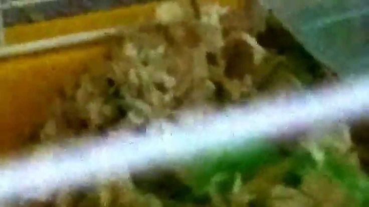 Primera camada de Hamster sirio