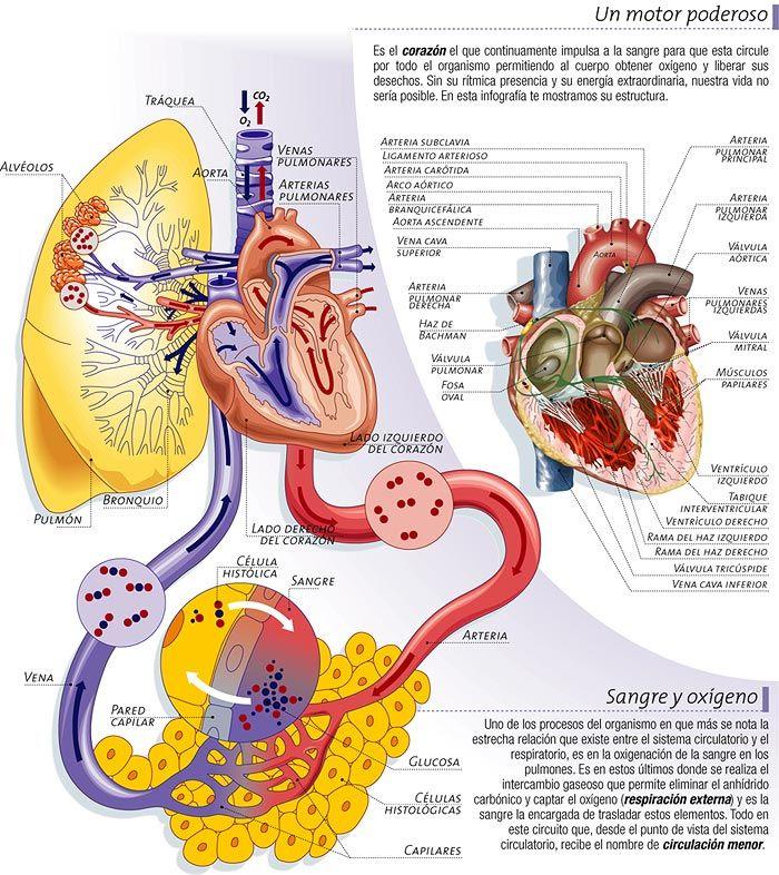 'Enfermedades del Aparato Circulatorio'