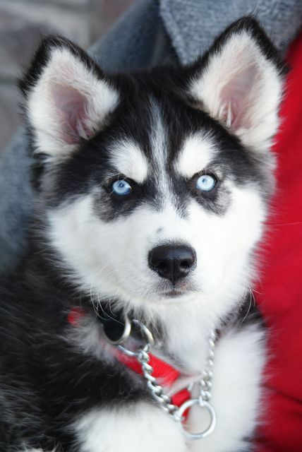 omg husky puppies = cutest little hellions ever! :)