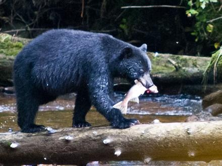 Not a grizzly, but great black bear photo