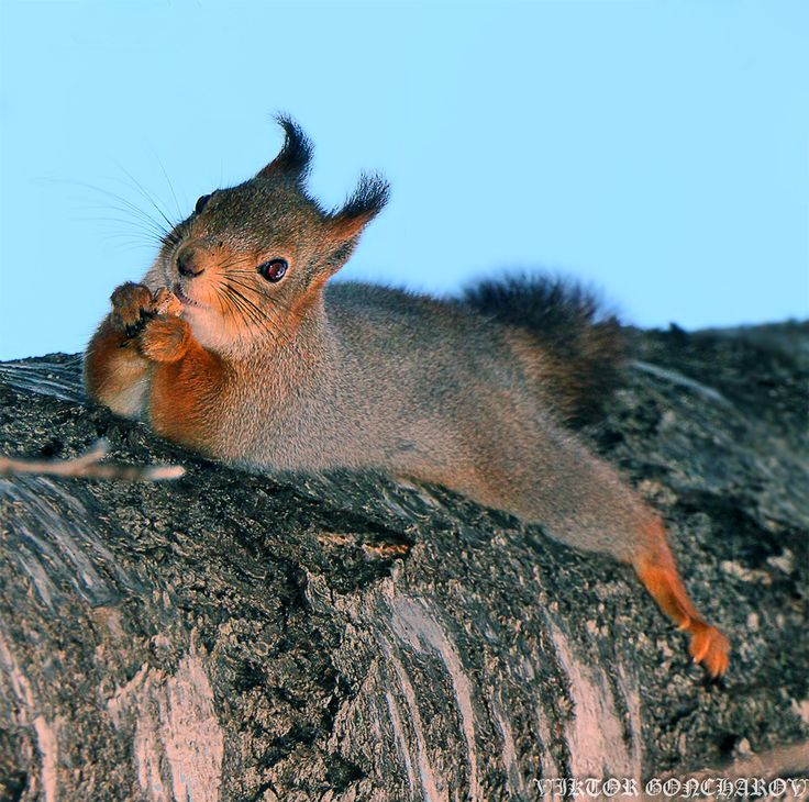 310 best Squirrels III images on Pinterest | Squirrels, Red squirrel ...
