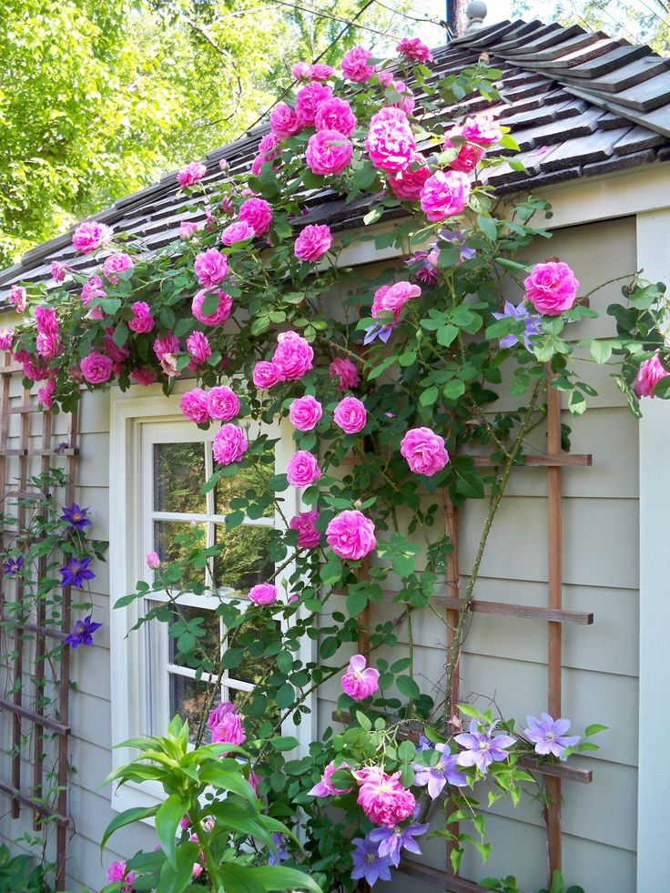 'Gertrude Jekyll' roses and clematis climbing up the garden house