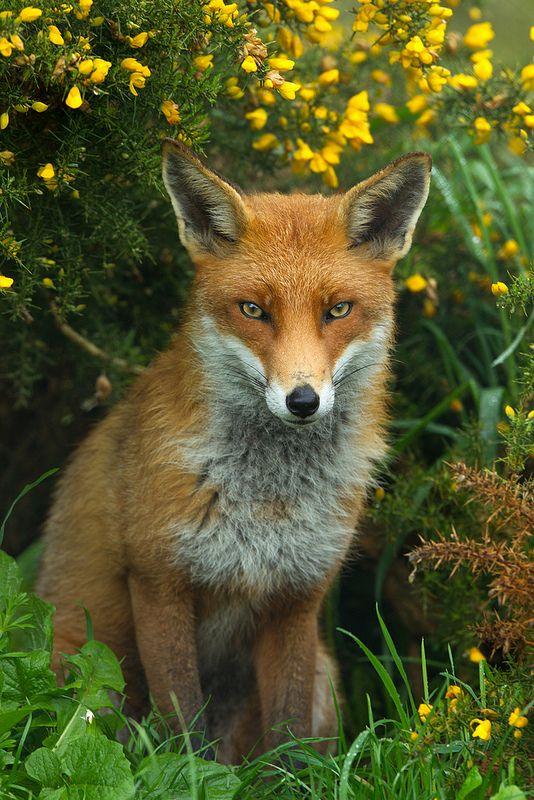 _W9H8409 - Red Fox (Vulpes vulpes) | Flickr - Photo Sharing!