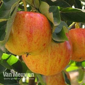 Cheap Dwarf Patio Fruit Trees for Sale - Buy a Miniature Fruit Tree   Van Meuwen