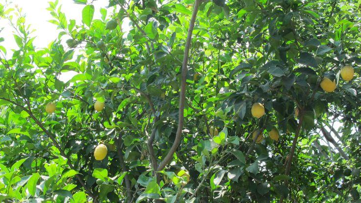 Lemons all around of Ischia island