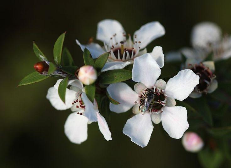 Leptospermum scoparium - these are the flowers that help the bees produce manuka honey!