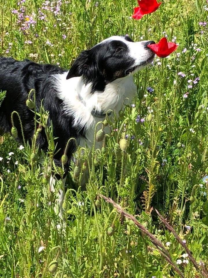 Pin By Marty Stroh On Border Collie Collie Dog Collie Puppies Dogs