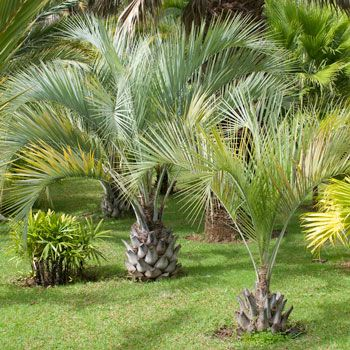 Pindo Palm Trees | very Cold Hardy Palm Trees sweet fruit| zones 6-11/