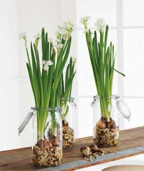 Alternative Gardning: How to Force Paperwhites Bulbs Into Bloom