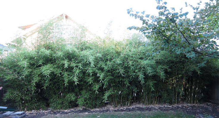 Cold Hardy Clumping Bamboo, 5 gal size planted 4-5' apart, after 4 years