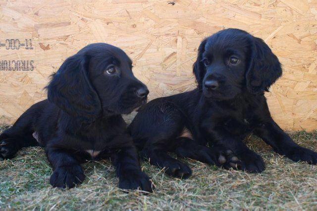 Wanted Working Cocker Spaniel Puppy 13th April Wanted In Cambridge Cambridgeshire Prelov Black Cocker Spaniel Spaniel Puppies Black Cocker Spaniel Puppies
