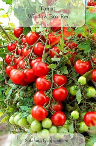 gemini tomat