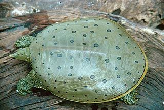 Spiny Softshell Turtle - Apalone spinifera Spiny Softshell Turtles live in the mud at the bottom of waterways and they lift their head up to find prey and yummy food!