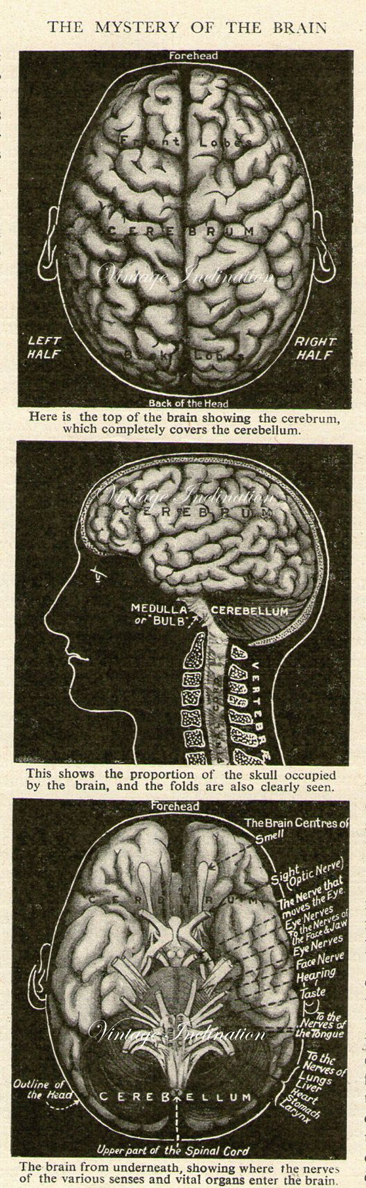 Antique Medical illustration, The Mystery of the Brain, 1930s print, image, anatomy anatomical nerves art