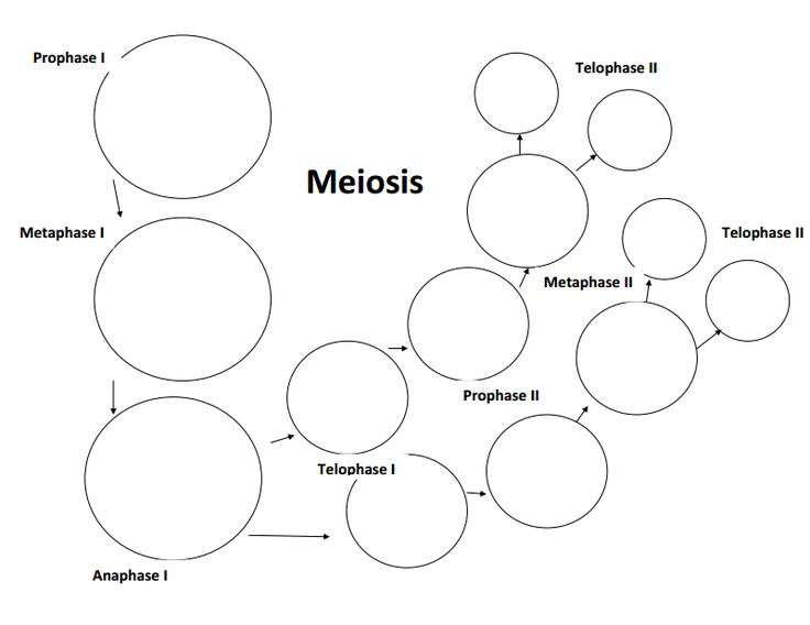 Meiosis Worksheet Meiosis Stages Worksheet Answers