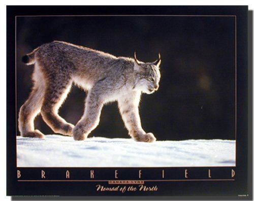 Awesome! Add some beautiful illusion and light up your room with this Canada Lynx Tom wild animal art print poster. This poster will make a perfect addition to your room especially for someone who is a wild animal lover. Discover the uniqueness of this poster and order today for its durable quality with excellent color accuracy.